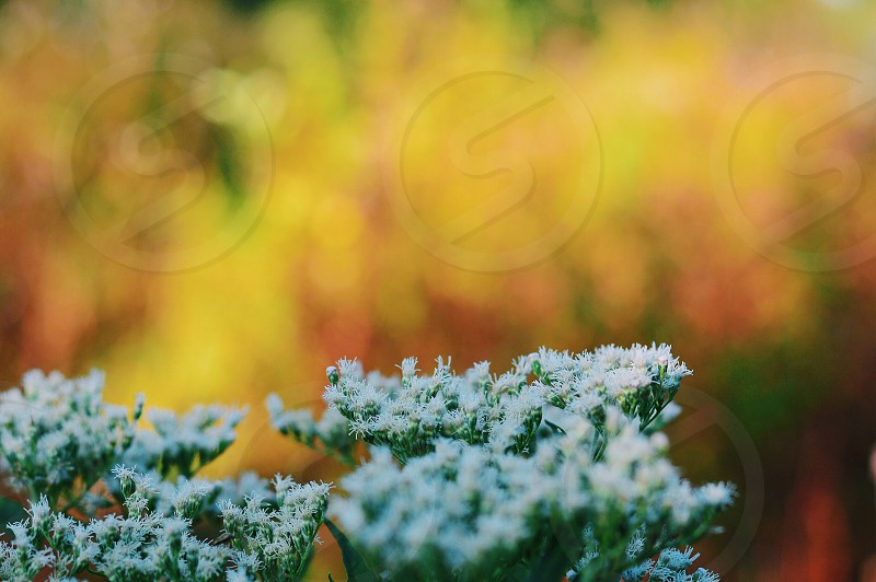 baby's breath flower in macro photo photo