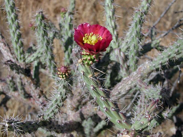 Flowering cactus photo