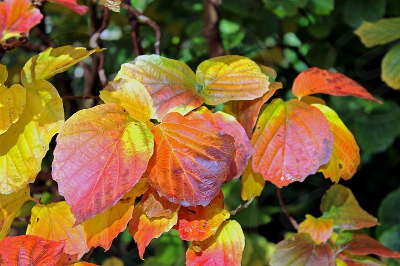 Autumn leaves at Westonbirt Arboretum Gloucestershire England. photo