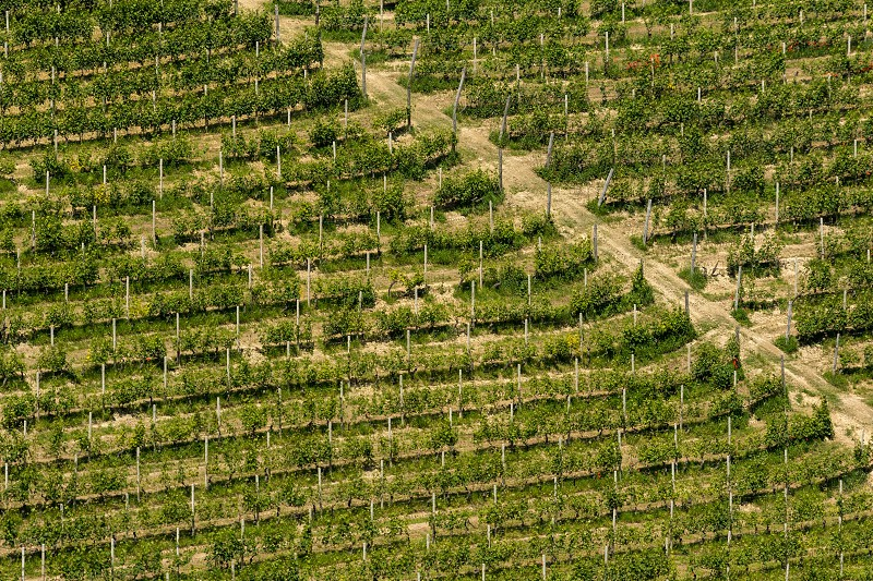 Rows of green grapevines growing on a hillside in Piedmont Italy photo