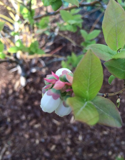 Blueberry blossoms in Michigan photo