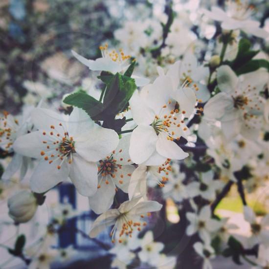 spring blossom photo
