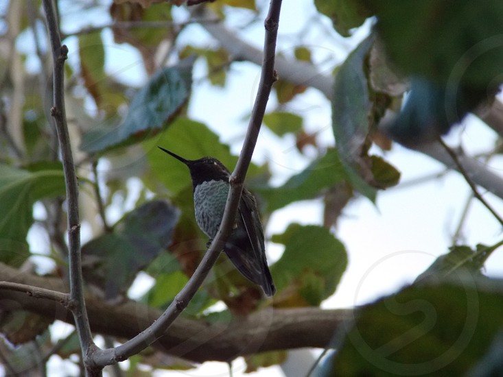 Hummingbird in tree photo