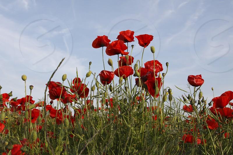 Poppy field photo