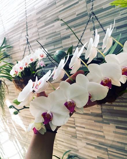 Tropical orchids   Santo Domingo (RD) photo