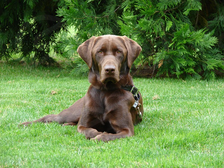 Chocolate Labrador photo