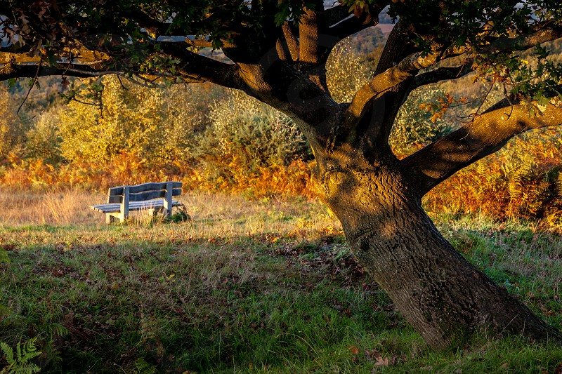 Autumn Sunshine on an Oak Tree in the Ashdown Forest photo