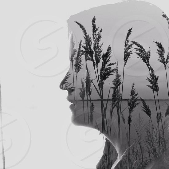 wheat plant photo