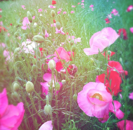 pink flower field photo