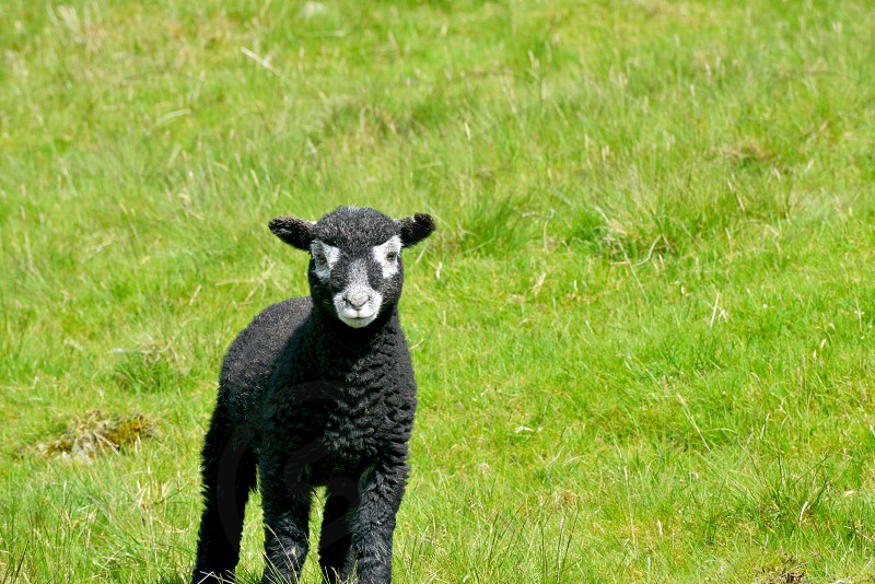 black sheep in green grass field during daytime photo