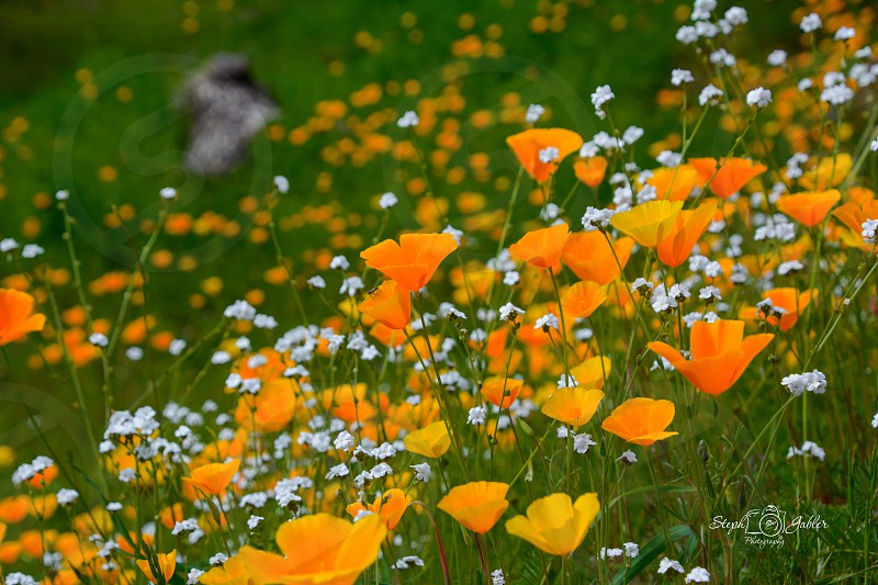 Spring color spring flowers poppy poppies blooms Wildflowers Jackson Amador County spring photo