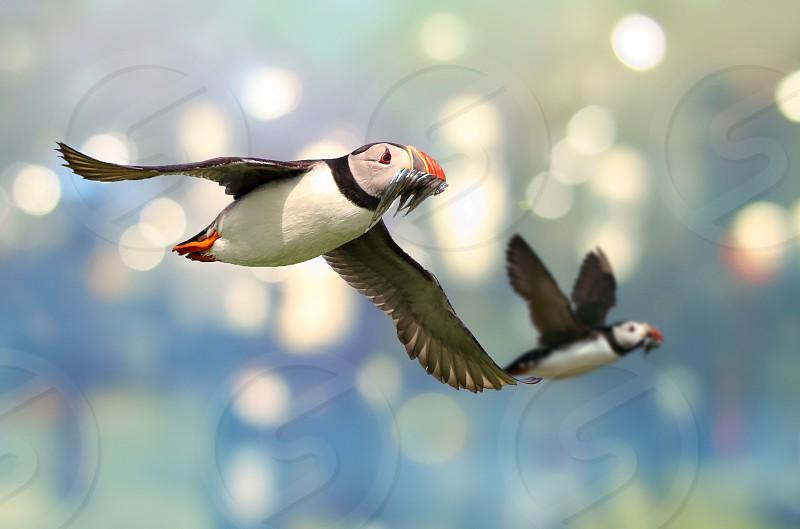 Atlanticpuffinflightbirdnature photo