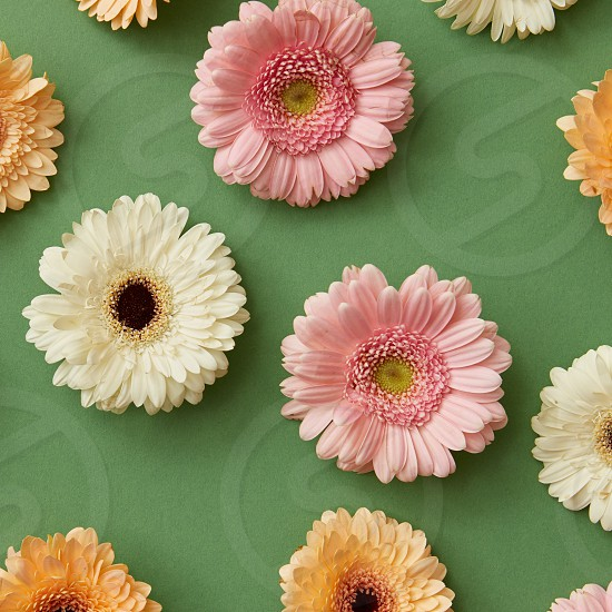 Beautiful pattern of colorful different fresh flowers gerbera on a green background from St. Valentine's Day postcards photo