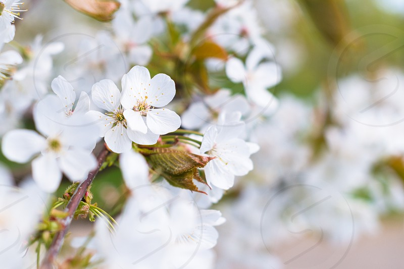 flower spring tree cherry blossomwhite photo