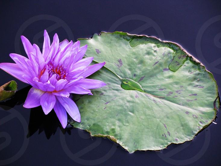 Lily purple photo