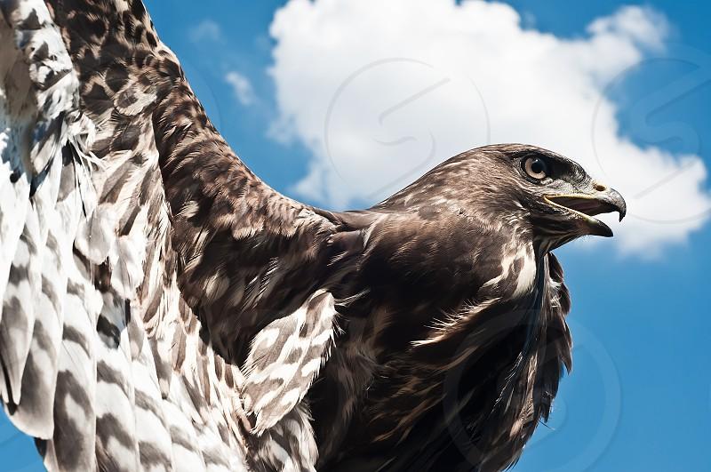 bird buzzard nature vulture sky spread wings photo