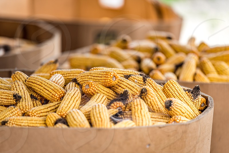 Boxes of harvested corn on the cob with a shallow depth of field during the autumn in a farm setting. photo