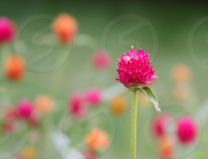pink small flower photo