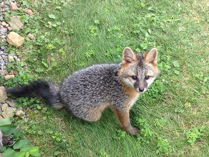 Fox kit in the wild photo