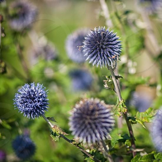 purple dandelion  photo