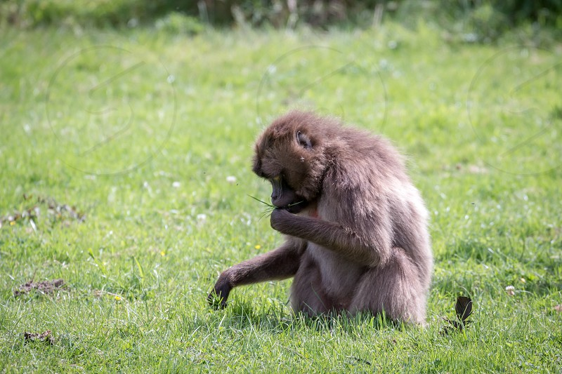 Gelada Baboon (Theropithecus gelada) photo