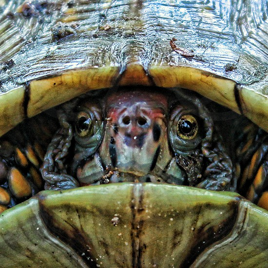 Close up angled view of a forest land turtle photo