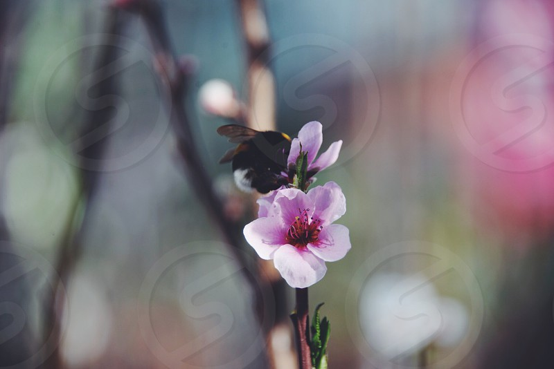 shallow focus photography of black and yellow honey bee on pink flower photo