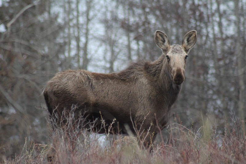 Moose in autumn woods forest photo
