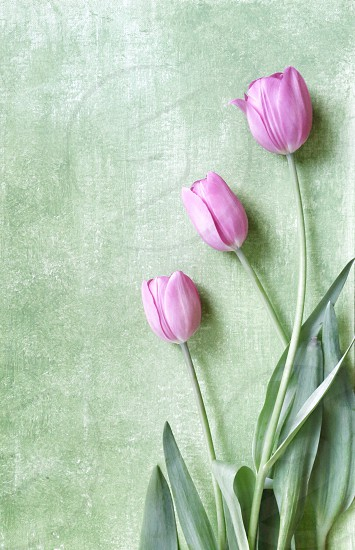 Three Pink Tulips against Green Background photo