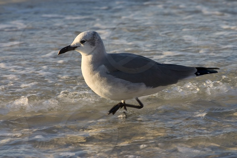 Seagull in the Gulf of Mexico Gulf Shores Beach in Alabama photo