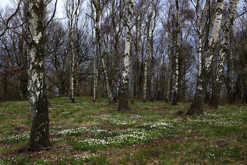 Spring springtime flowers anemones  birch birch trees nature picture  background  wallpaper  photo
