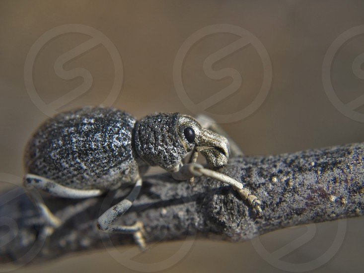 A species of Weevil native to Arizona holding onto tree twig that it is feeding on. photo
