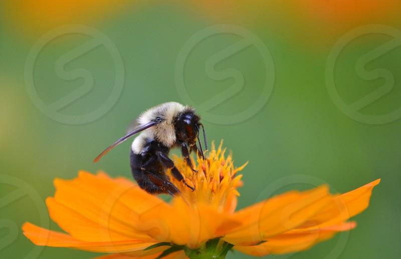 bumble bee on orange flower photo