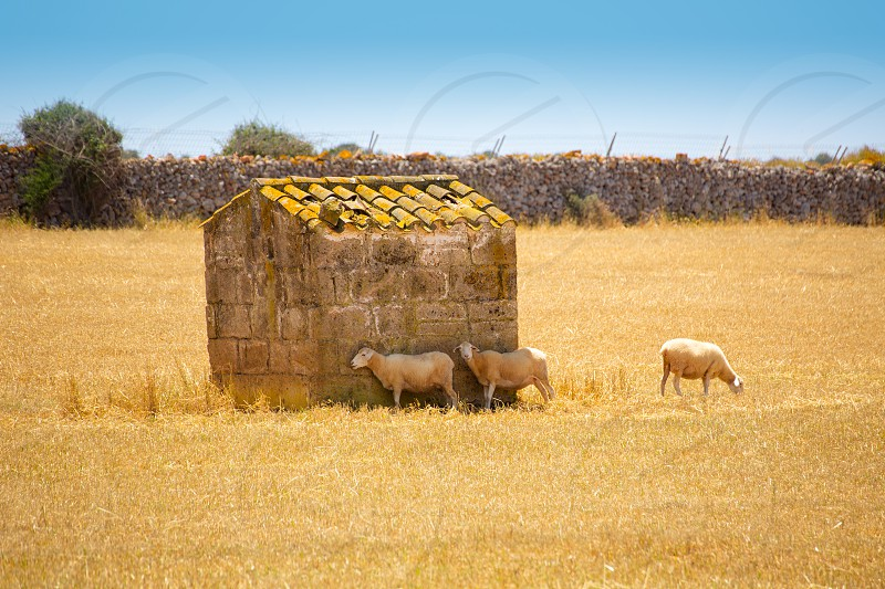 Menorca sheep flock grazing in golden dried meadow at Balearic Islands photo
