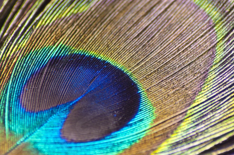 animal artistic background beautiful beauty bird blue bright closeup colorful colors copy decor decorative design details elegant exotic eye fashion feathered feathers fluffy fowl green iridescent isolated macro male multicolored nature object ornament ornamental pattern peacock peafowl plumage plume retro shiny space style tail texture tropical turquoise vibrant vivid wildlife photo