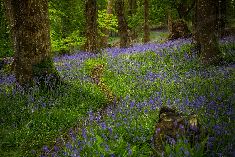 Forest flowers wood trees bluebells photo