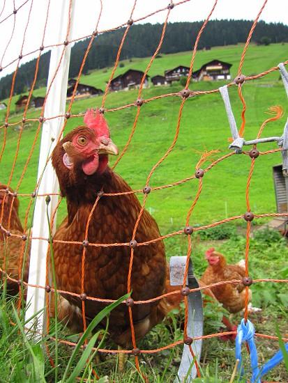 brown chicken sticking her head through fencing  photo
