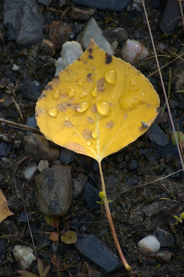 Yellow Leaf Nature Alaska Water Drops photo