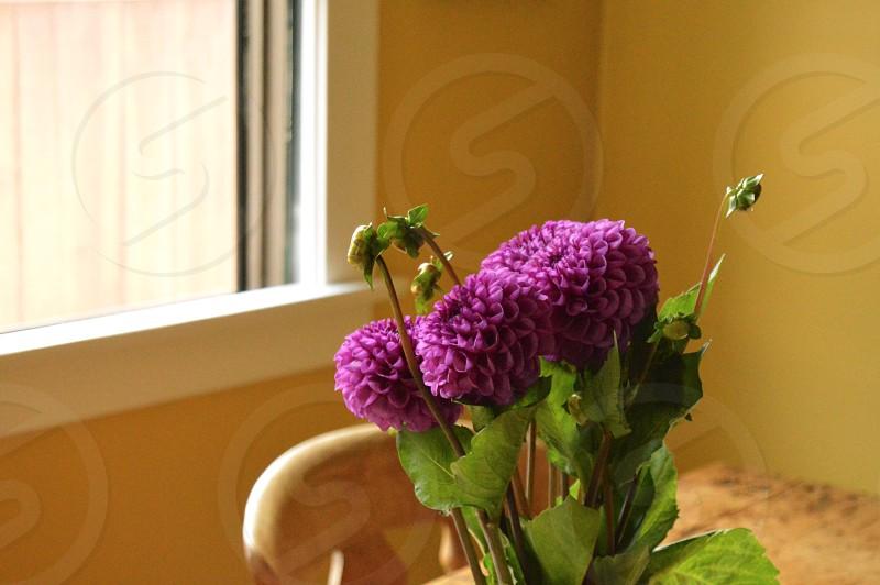 shallow focus photography of purple ball dahlias photo