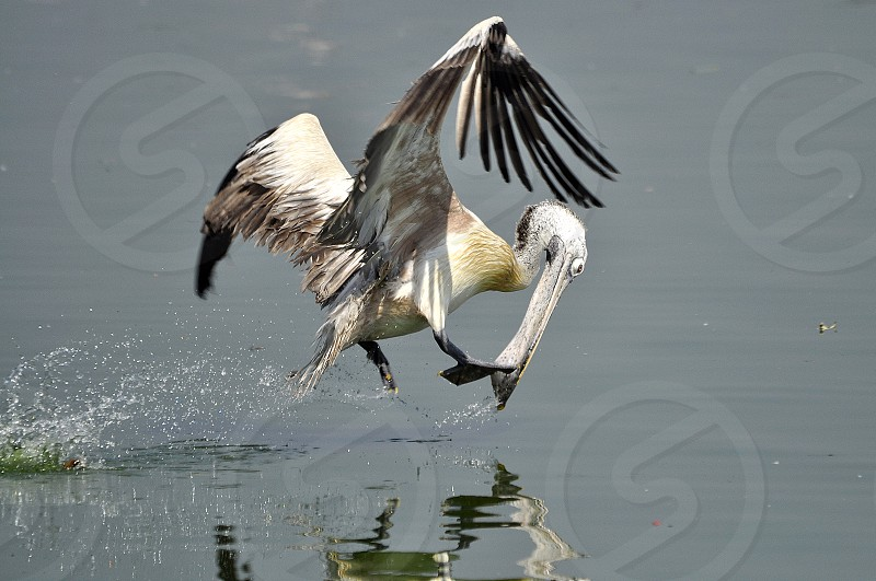 Grey pelican in flight photo