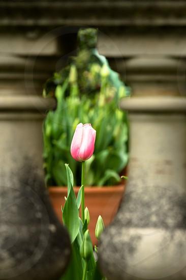 pink tulip framed by ballistrade photo