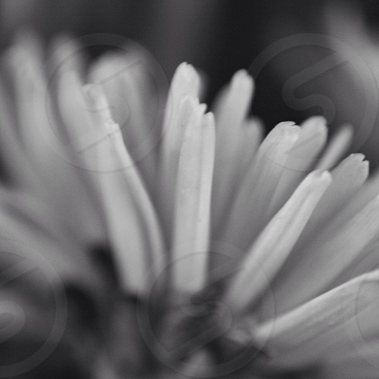 Black and white flower beautiful serenity  petals garden outdoors photo