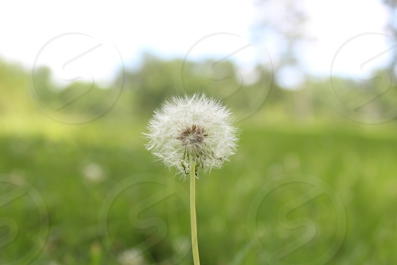 close up photo of dandelion photo
