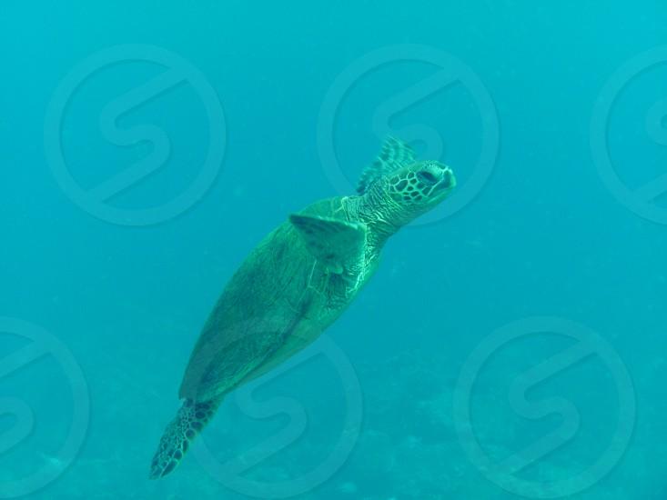 Sea Turtle in Kauai Hawaii photo