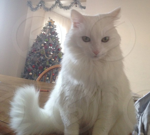 Pure white kitty ~ holiday ~ home photo