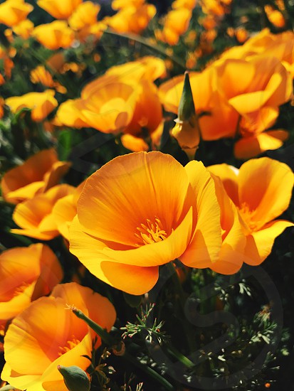 Poppy California spring orange photo