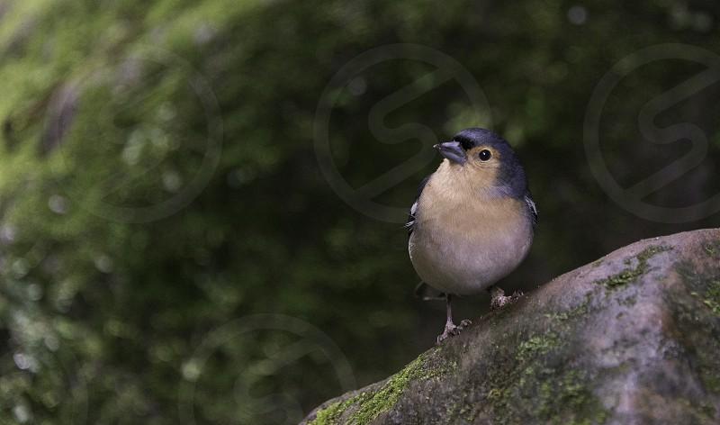 Fringilla madarensis bird of madeira looking at camera photo