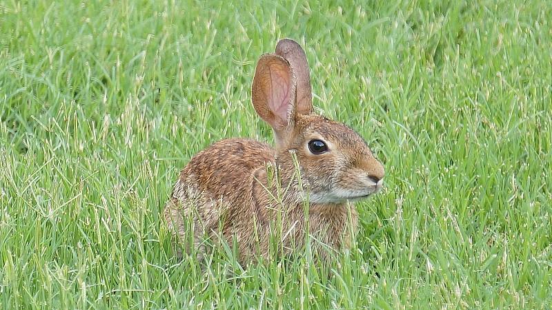 Wild Hare photo