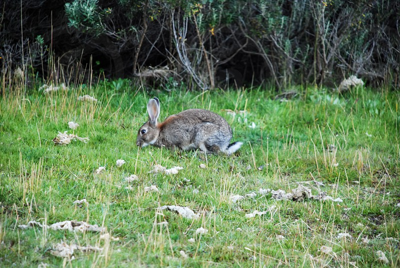 Patagonian rabbit feeding in a grassland with the forest in the background photo