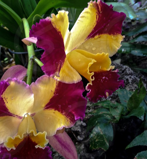 Orchids pink yellow flower ruffles delicate beautiful wedding flowers photo